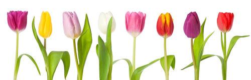 row-tulips-border-isolated-28939467